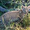 Leopard Cub, Jao Camp, Botswana  (4)