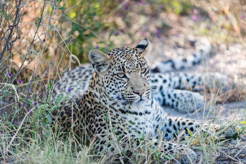 Female Leopard, Chitabe, Botswana (1)
