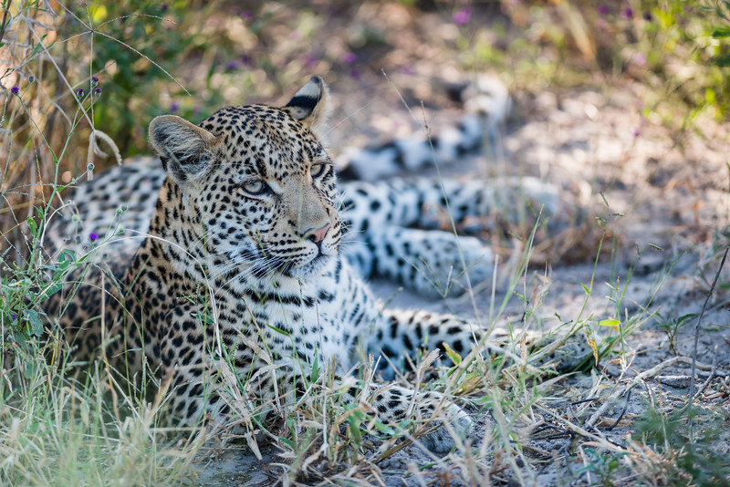 Female Leopard, Chitabe, Botswana (2)