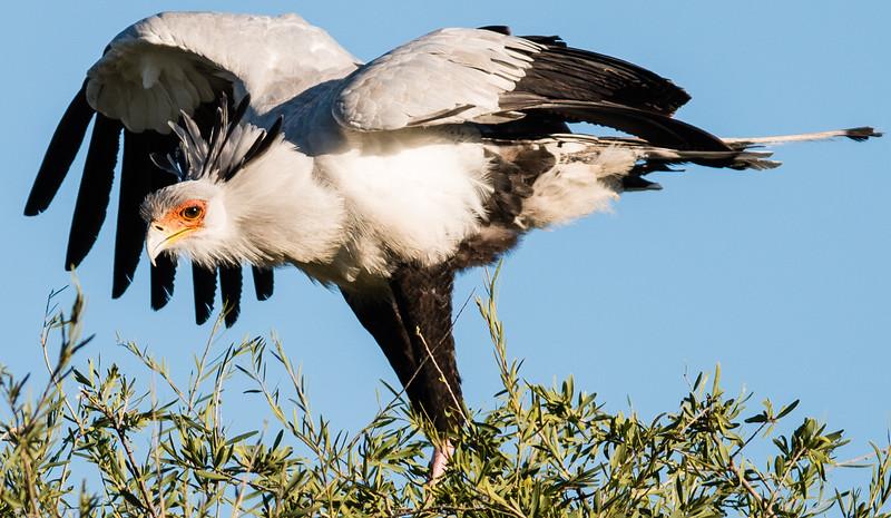 Secretary Bird, Chitabe, Botswana
