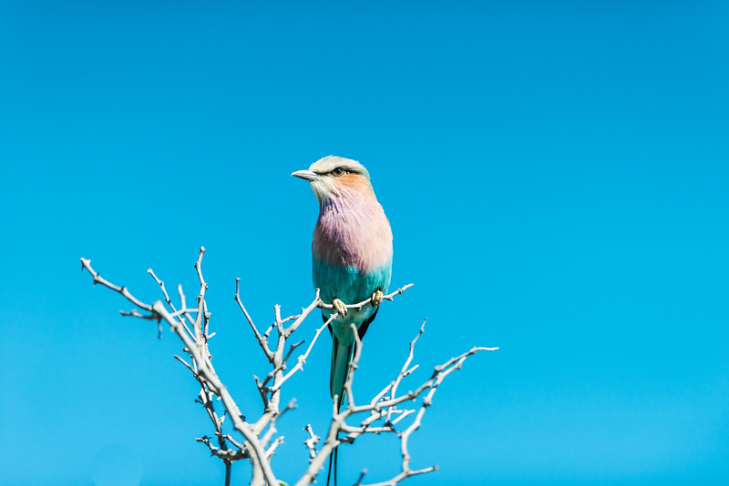 Lilac-Breasted Roller, Chitabe, Botswana