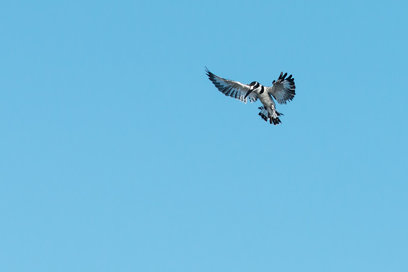 Pied Kingfisher, Jao Camp, Botswana
