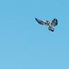 Pied Kingfisher, Jao Camp, Botswana