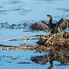 Reed Cormorant, DumaTao, Botswana