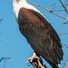 African Fish Eagle, Jao Camp, Botswana