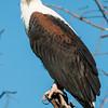 African Fish Eagle, Jao Camp, Botswana