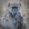 Baboon, DumaTao, Botswana (3)