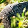 Monitor Lizard, DumaTao, Botswana (1)