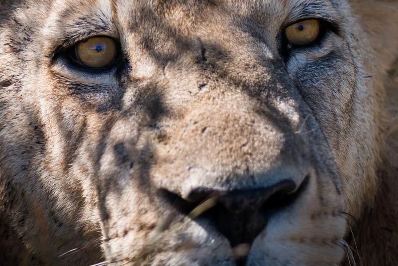Young Male Lion, DumaTao, Botswana (close-up)