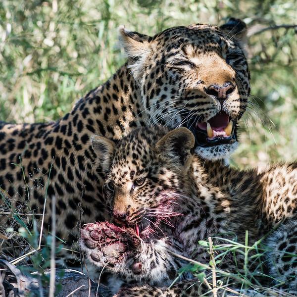 Leopardess & cub, DumaTao, Botswana (1)