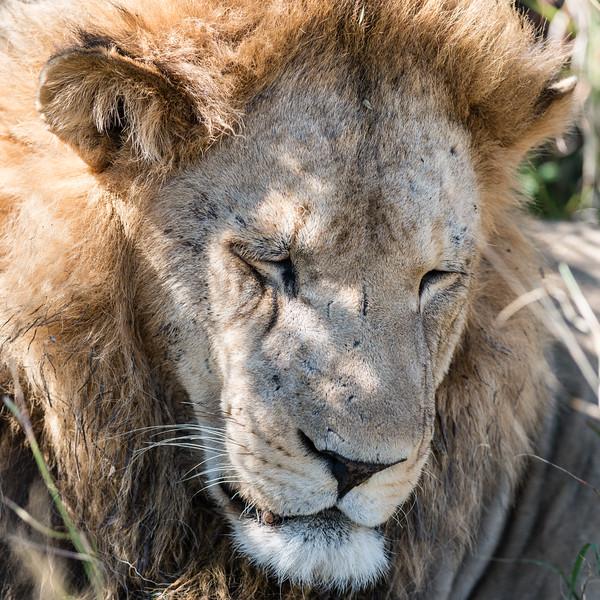 Sleepy Young Male Lion, DumaTao, Botswana