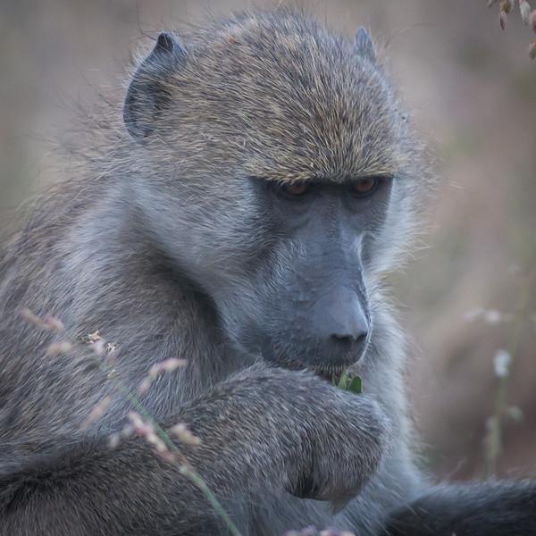 Baboon, DumaTao, Botswana (1)