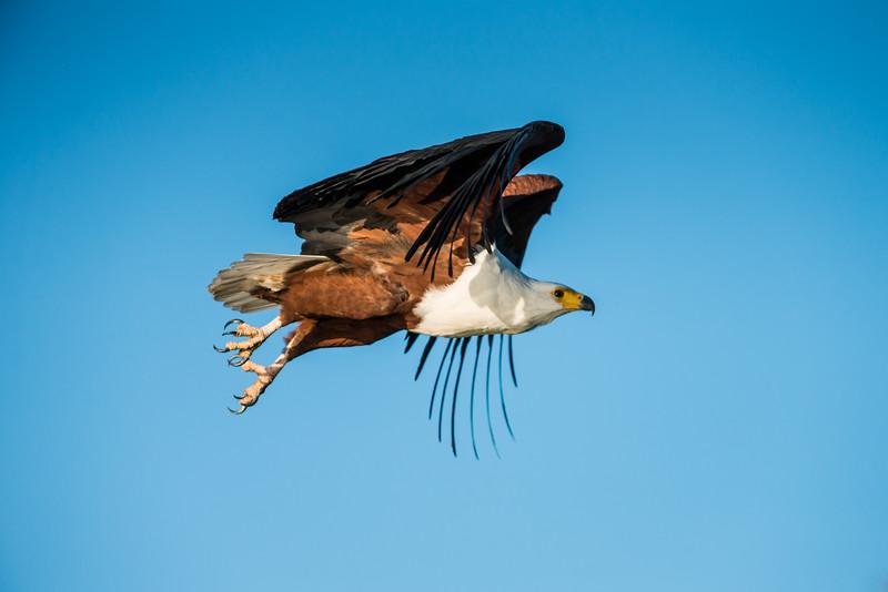 African Fish Eagle, Jao Camp, Botswana (7)