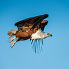 African Fish Eagle, Jao Camp, Botswana (7)