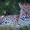 Leopard, Jao Camp, Botswana (3)