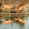 Impala, Chitabe, Botswana