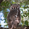Great African Eagle Owl (1)