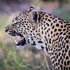 Snarling Leopard, Jao Camp, Botswana