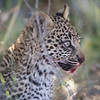 Leopard Cub, Jao Camp, Botswana  (6)