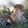 Cheetah, Chitabe, Botswana (7)