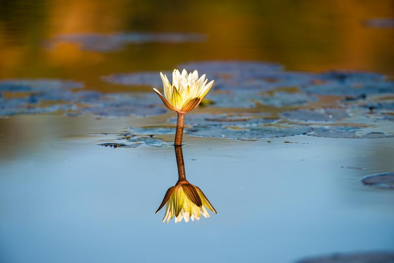 Water Lily,Jao Camp, Botswana (2)