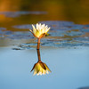Water Lily,Jao Camp, Botswana (2)