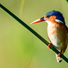 Malachite Kingfisher, Jao Camp, Botswana (2)