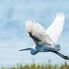 Intermediate Egret, Jao Camp, Botswana