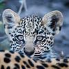 Leopard Cub, Jao Camp, Botswana (2)