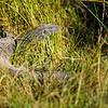 Monitor Lizard, DumaTao, Botswana (2)