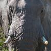 Elephant, Jao Camp, Botswana