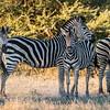 Four Burchell's Zebra,Chitabe, Botswana