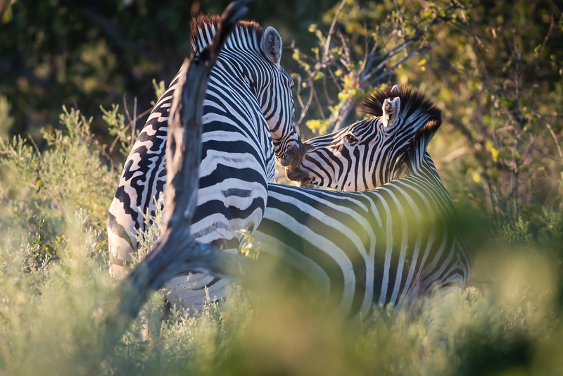 Zebras Mating and Kissing, DumaTao, Botswana
