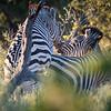Zebras Mating and Kissing, DumaTao, Botswana