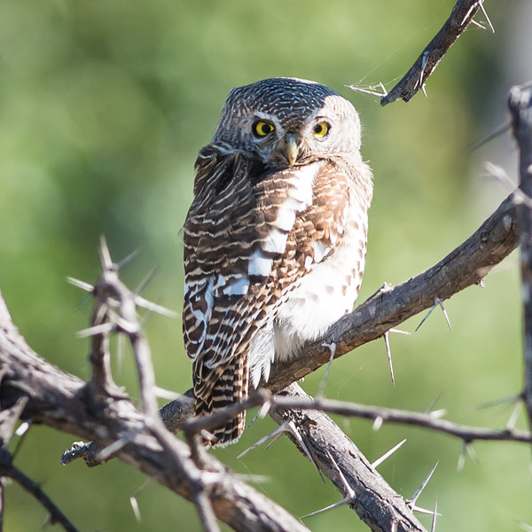 African Barred Owlet, Jao Camp, Botswana