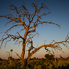 Dead Leadwood, Chitabe, Botswana