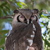 Great African Eagle Owl (2)