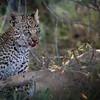 Leopard Cub, Jao Camp, Botswana  (5)