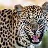 Leopard, Jao Camp, Botswana (8)