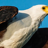 African Fish Eagle, Jao Camp, Botswana (6)