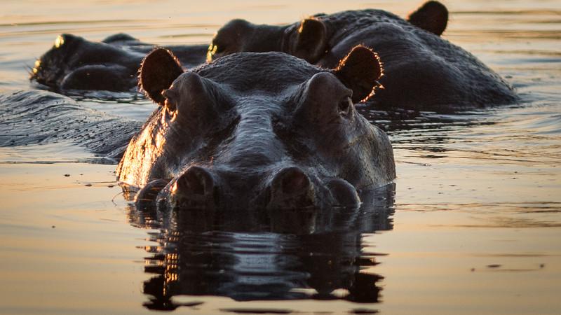 Hippos, DumaTao, Botswana