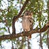 African Eagle Owl, Chitabe, Botswana (3)