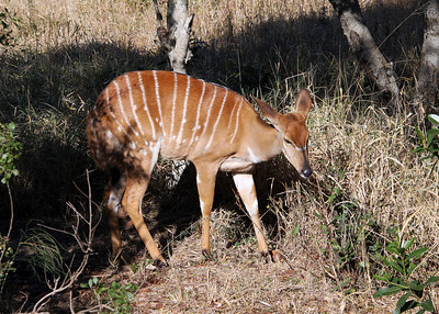 NYALA FEMALE - ZULULAND