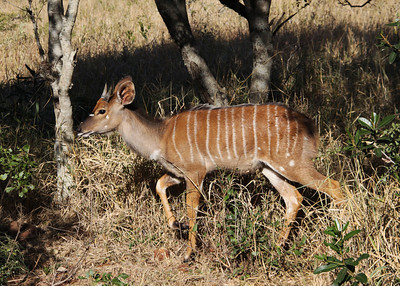 YOUNG NYALA MALE - ZULULAND