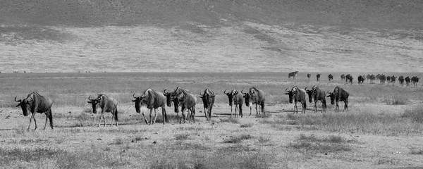 Wildebeest, Nogorongoro