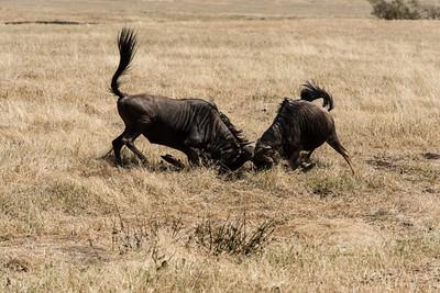 Fighting Widlebeest