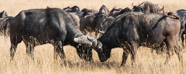 Bufalo, Norongoro