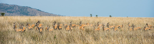 Herd of Thomson's Gazelles