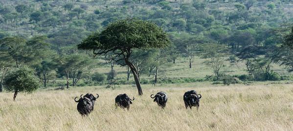Bufalo, Olduvai