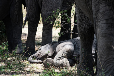 Baby Elephant sleeping.